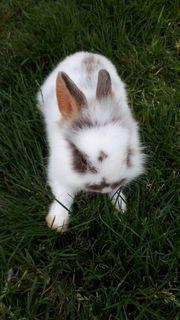 Zwergkaninchen Kaninchen mini