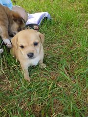 Jack Russel Chihuahua Mix 7