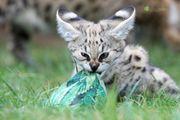 Savannah-Kitten
