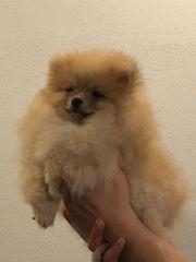 Pomeranian Mini zwergspitz