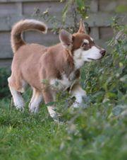 Wunderschöne Husky Welpen