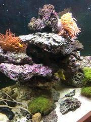 Lebendgestein wegen Aquarienauflösung für Meerwasseraquarium