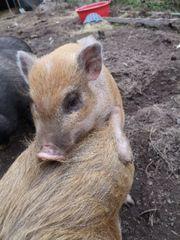 Minischwein sucht neues