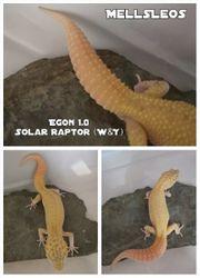Leopardgecko 1 0 Solar Raptor