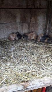 meerschweinchen 7 wochen
