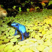 Azureus Dentrobates blauer Pfeilgiftfrösche Baumsteiger