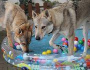 Wolfhunde, TWH, Wolfdog,
