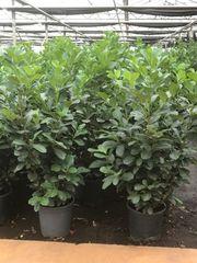 Heckenpflanzen Thuja Kirschlorbeer Lebensbäume Eiben