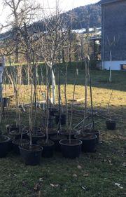 Obstbäume aus Hobbyveredelung Baum Obst