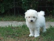 Goldendoodle Medium