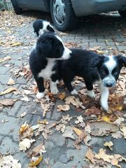 Border Collie Welpen