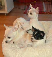 Adonis Chihuahua Welpe,