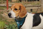 NISCO Beagle - aktiver freundlicher Rüde