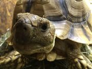 Spornschildkröten Gruppe
