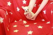 Super Mini Teacup Chihuahua Mädchen