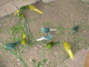 Biete Ziegensittiche in verschiedenen Farben