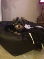 Yorkshire Terrier Rüde