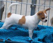 Chihuahua Welpen in kurz und