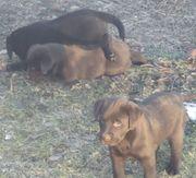 Labradorwelpen aus HD-ED-PL-freier Zucht