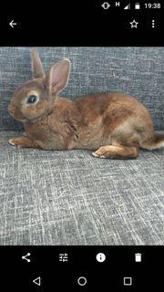 Zwergkaninchen Kaninchen Farbenzwerg