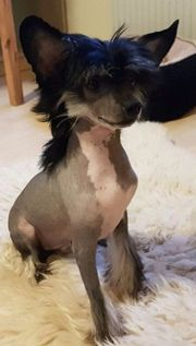Reinrassige Chinese Crested