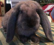 Süße Kaninchenbabys (Widder)