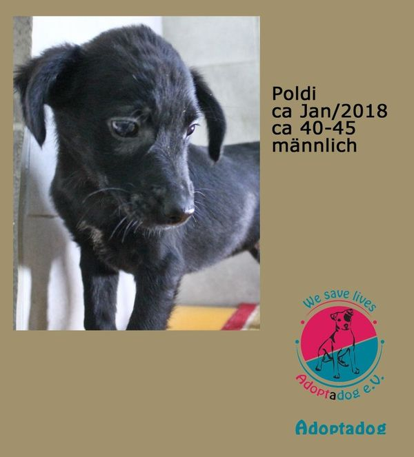 POLDI zarter Engel - Kirchzell - Poldi 31839Adoptadoggeb. ca: Januar 2018Schulterhöhe: ca 40-45 cmgeimpft, gechipt,männlichAkt. Aufenthaltsort: Kroatien, Tierheim Prijateljigerne holen wir für sie den Hund nach DeutschlandUnsere Jüngsten suchen ein Zuhause. Noch sind sie  - Kirchzell