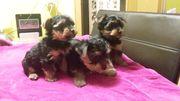 Yorkshire Terrier mini Welpe