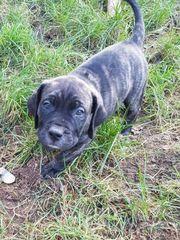 Wunderschöne Dogo Canario