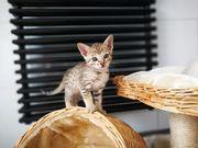 Savannah F5 Kitten