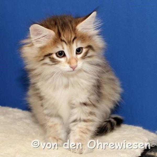 Norwegische Waldkatzen In Der Farbe Amber In Hermsdorf Katzen