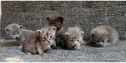Waldkatzen Edelmix Kitten