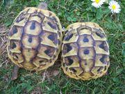 2 Dalmatinische Landschildkröten (