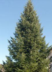 Weihnachtsbaum ca. 12-