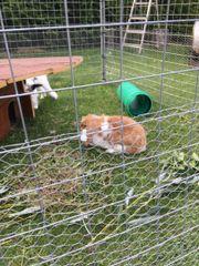 Kaninchen in liebe