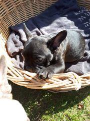 Französische Bulldoge Welpen zu verkaufen