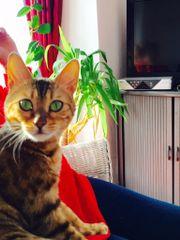 Reinrassige Bengal Katze ,