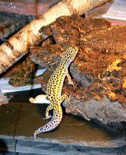 Handzahme liebe Leopardgecko u Angramainyu