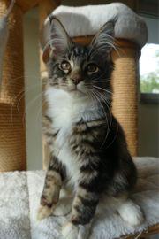 süße Maine Coon Kitten