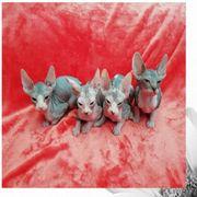 Sphynx Kitten zu