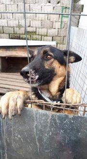 REX - ehemaliger Kettenhund sucht neues