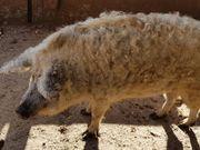 Wollschweine Mangalitza 2