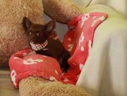 Extra Mini und Mini Chihuahua