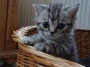 Bkh Kitten in blau