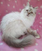 Aufgeweckte Birma Katze