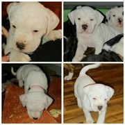 Seltenheit : weiße Bulldog