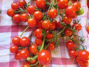 Wildtomaten Wild Cherry u a