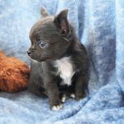 Zauberhaftes Chihuahua-Mädchen