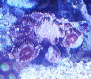 Meerwasser Protopalythoa