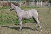 Welsh Pony - 1